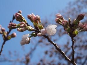 桜募金のお願い